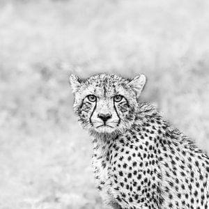 Krachtige blik - cheetah van Sharing Wildlife