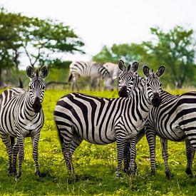 Vier Zebra's van Stijn Cleynhens