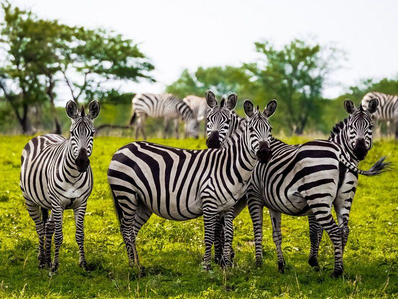 Zebra's van Stijn Cleynhens