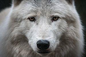 Alpha-Arktischer Wolfskopf von UnkczY