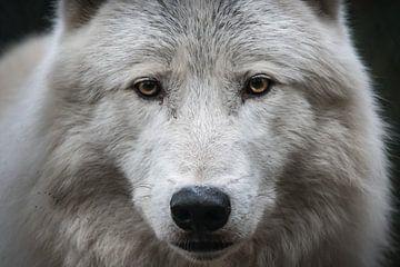 Alpha Arctic Wolf's Head van UnkczY