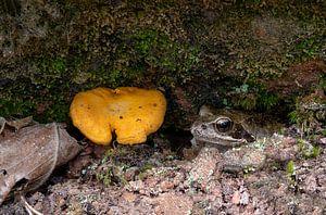 Froschschenkel mit frischen Pfifferlingen von Hans-Jürgen Janda