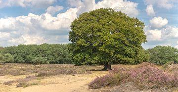 Beukenboom op de bloeiende hei in augustus