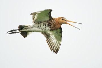Grutto fliegen in der High Key Version von Jeroen Stel