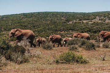 Eine Elefantenfamilie, die gemeinsam unterwegs ist. von Floor Bogaerts
