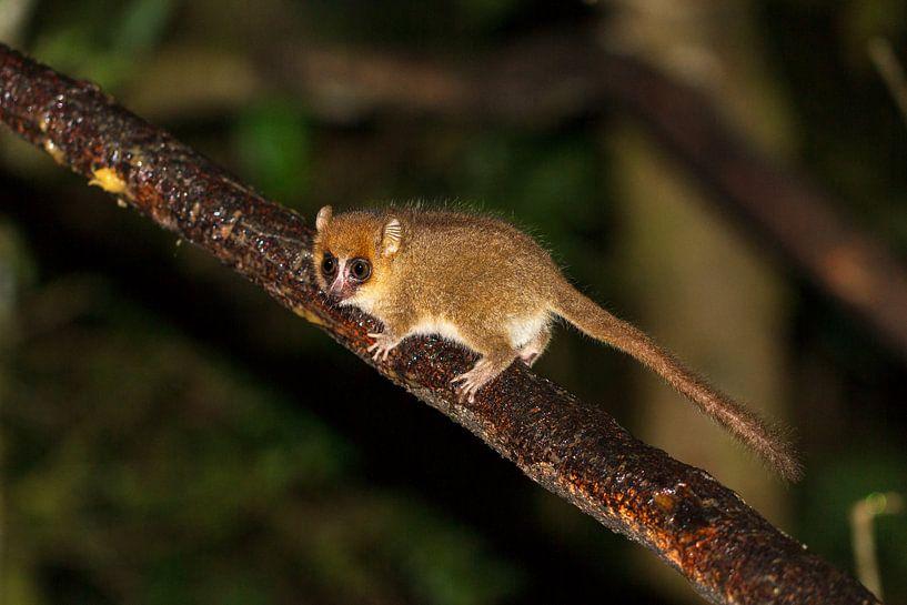Madagaskar Muismaki von Dennis van de Water