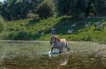 Zwemmend konik paard von Cilia Brandts