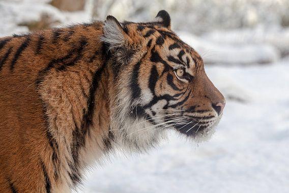 Zijaanzicht portret van een Sumatraanse tijger in de sneeuw van Tim Abeln