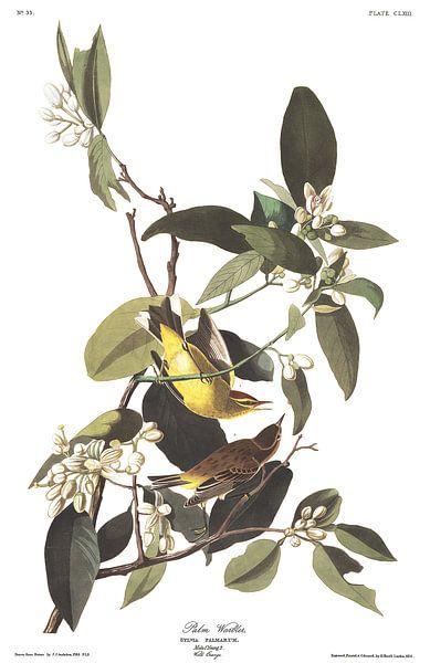Palmzanger van Birds of America