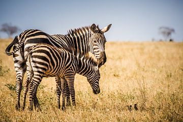 Zebra met jong van Ingrid van Wolferen