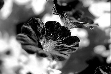 Zwart bloem van Marianna Pobedimova
