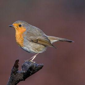 Robin dans un décor d'automne ! sur Robert Kok