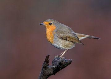 Robin in der Herbstkulisse! von Robert Kok