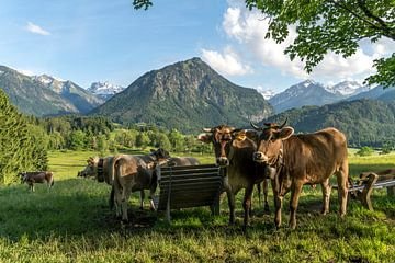 des vaches brunes sur un pâturage de montagne dans l'Allgäu sur Peter Schickert