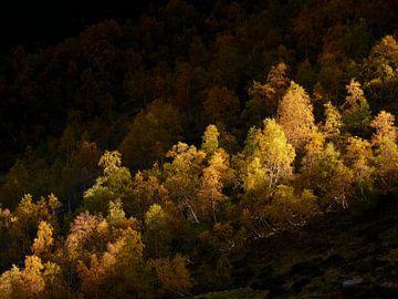 Birken im Morgenlicht von Max Schiefele