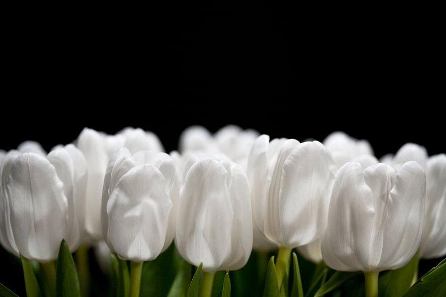 Zijdewitte tulp op zwart