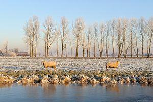 Berijpt winterlandschap met twee schapen