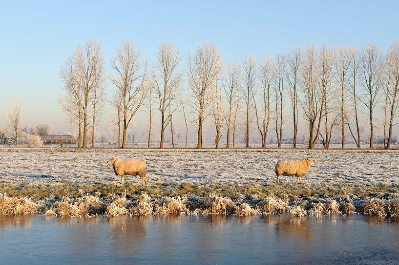 Berijpt winterlandschap met twee schapen van Merijn van der Vliet