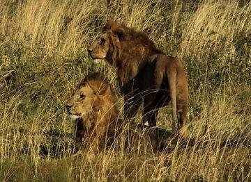 Leeuwen van