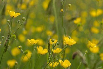 Gelbe Butterblumen auf dem Feldfoto von JM de Jong-Jansen