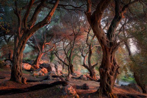 Olijfbomen tijdens zonsondergang