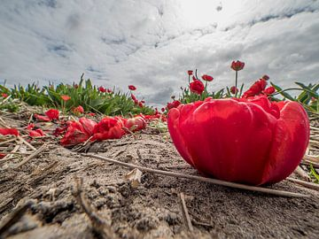 tulp anders von Raymond Schrave