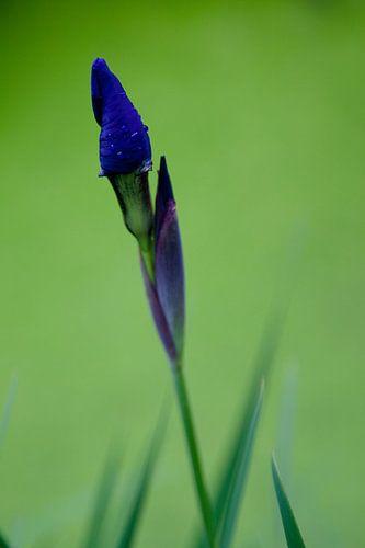 Paars-blauwe bloem in de knop na regenbui van