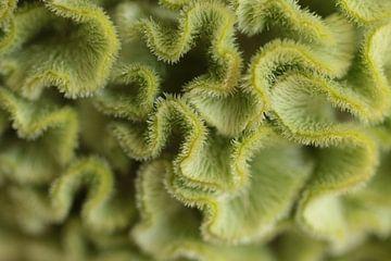 Grüne Knollensellerie (Hahnenkamm) von Bärbel Severens