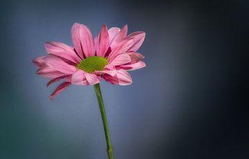 Chrysanthemen von Toon van den Einde