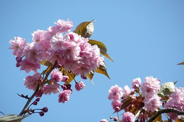 Springblossom van Jodi van Dam