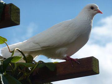 Witte duif van Marie Stortenbeken