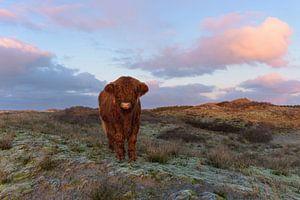 Schotse Hooglander Kalf op duintop komt naar me toe