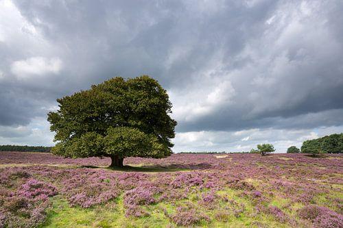Eenzame boom op de bloeiende heide. van
