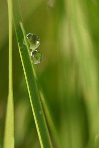 Druppels in gras staand