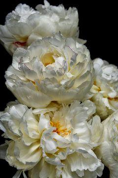 Weiße Paeonie von Claudia Moeckel