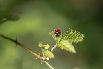 Een lieveheersbeestje op een blad
