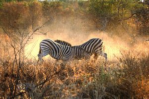 Zebra's vechten van Jojanneke Vos