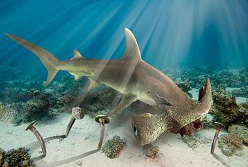 Hamer haai van Dray van Beeck