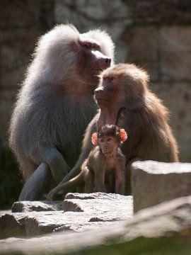 Mantelbaviaan : DierenPark Amersfoort van Loek Lobel
