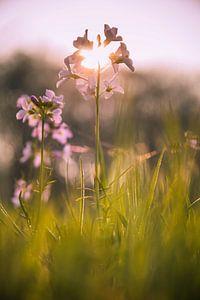 Pinksterbloem in de ondergaande zon van