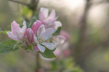 lichtroze appelbloesem van Tania Perneel
