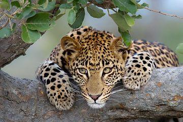 Leoparden-Porträt von Jos van Bommel