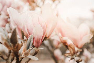 Magnolia bloemen in bloei van Melissa Peltenburg