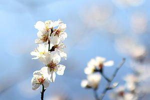 The Almond Blossom