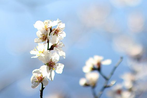 The Almond Blossom van Cornelis (Cees) Cornelissen