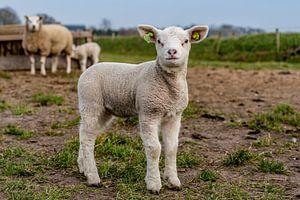Photoshoot 02 agneau Texel