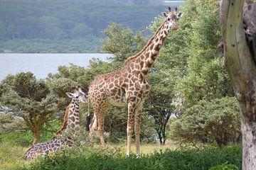 Giraffe met baby van Daisy Janssens