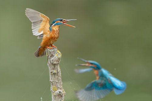 IJsvogel van