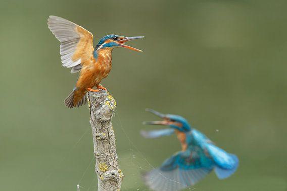 Kingfisher von Menno Schaefer