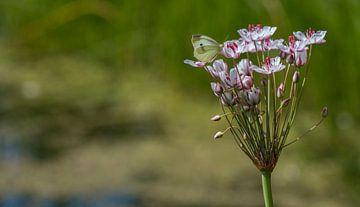 Weissen Schmetterling auf Blumen von Ingrid Ronde